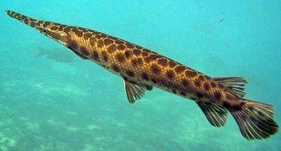 Harga Ikan Predatro 2017 Jenis Aligator