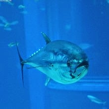 http://mightyeco.blogspot.com/2014/06/tuna-fish-extinction-tuna-fish-tuna-fish-extinction.html
