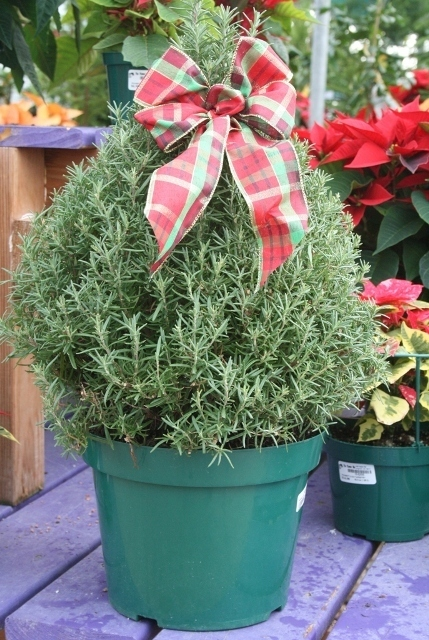 water your norfolk pine when the top inch of soil feels dry water thoroughly until water comes out the bottom of the pot