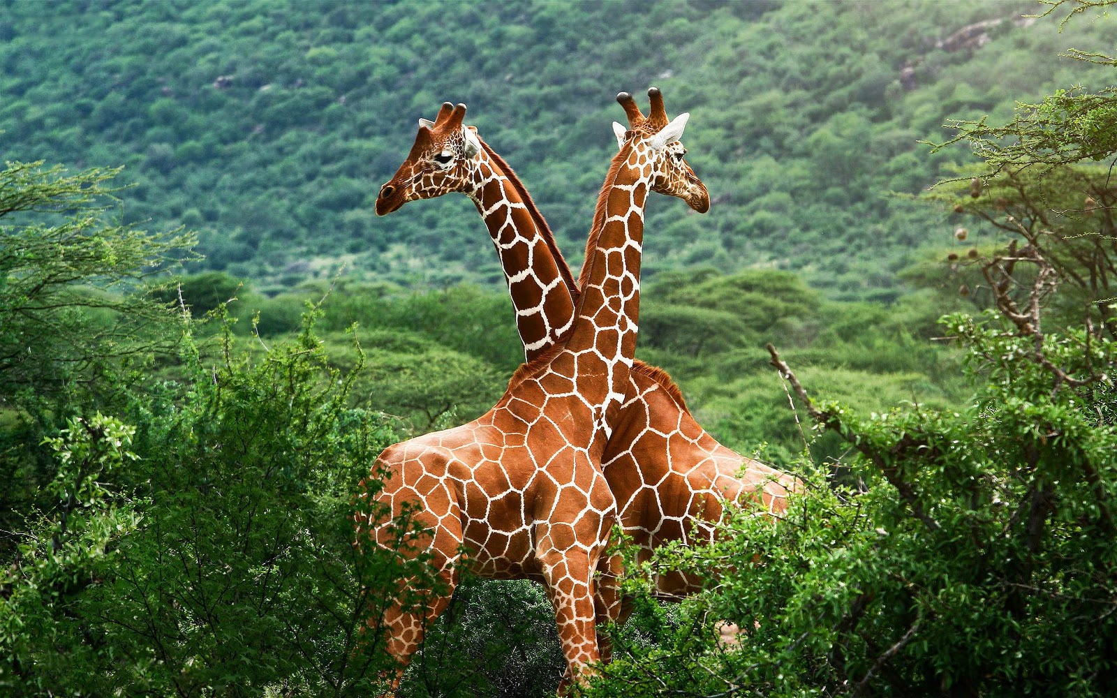 giraffe wallpapers hd pictures - photo #31