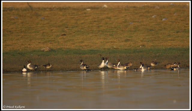 Northern Pintail at Bhigwan