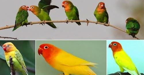 Daftar Harga Resmi Burung Lovebird Lengkap Semua Jenis  Terbaru