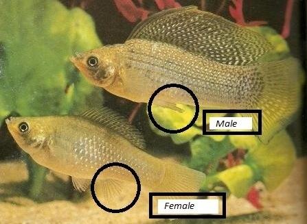 Cara Agar Ikan Molly Cepat Beranak Budidaya Ikan