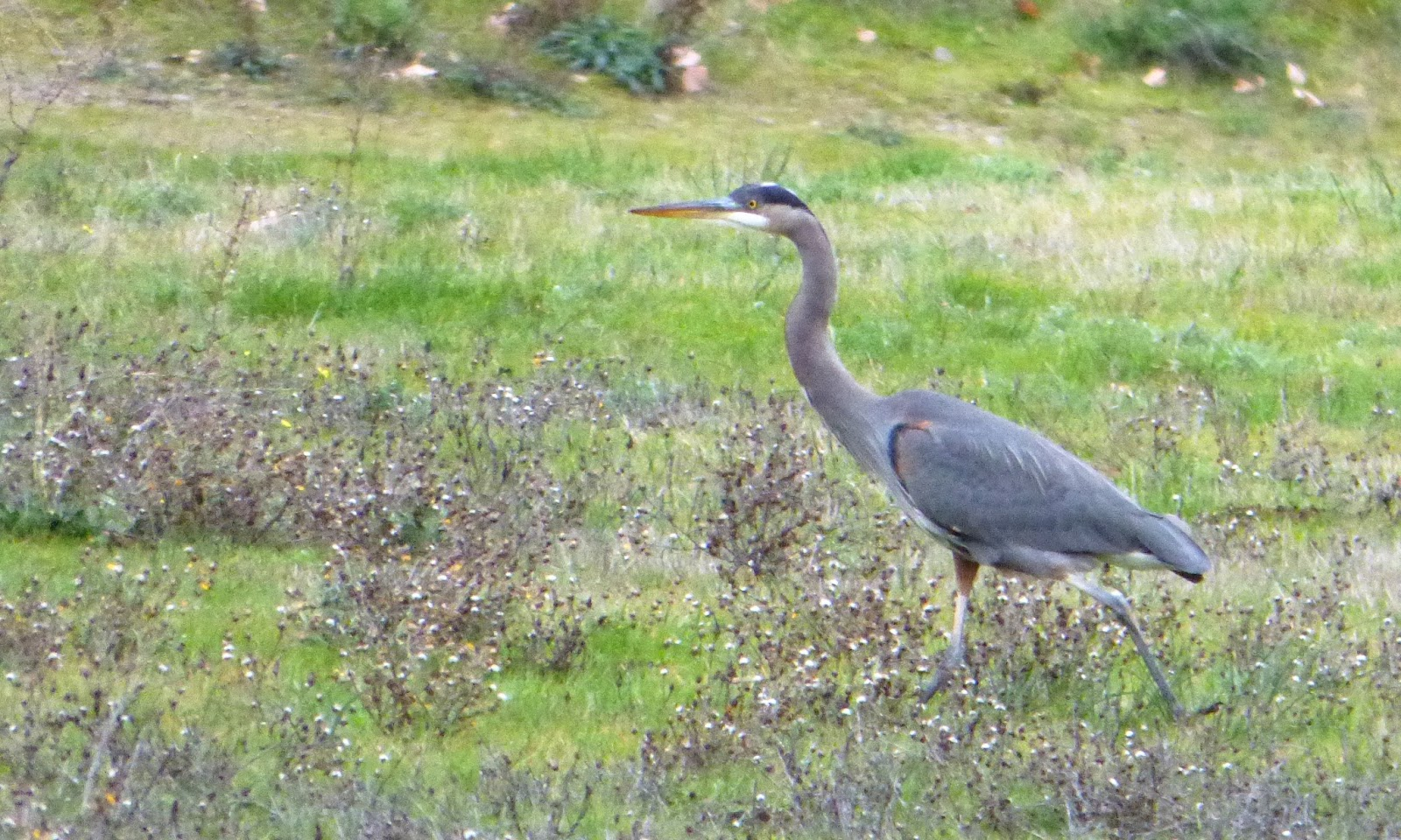 Geotripper39s California Birds Great Blue Heron At Ashland Oregon