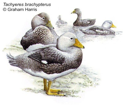 Quetro malvinero Tachyeres brachypterus