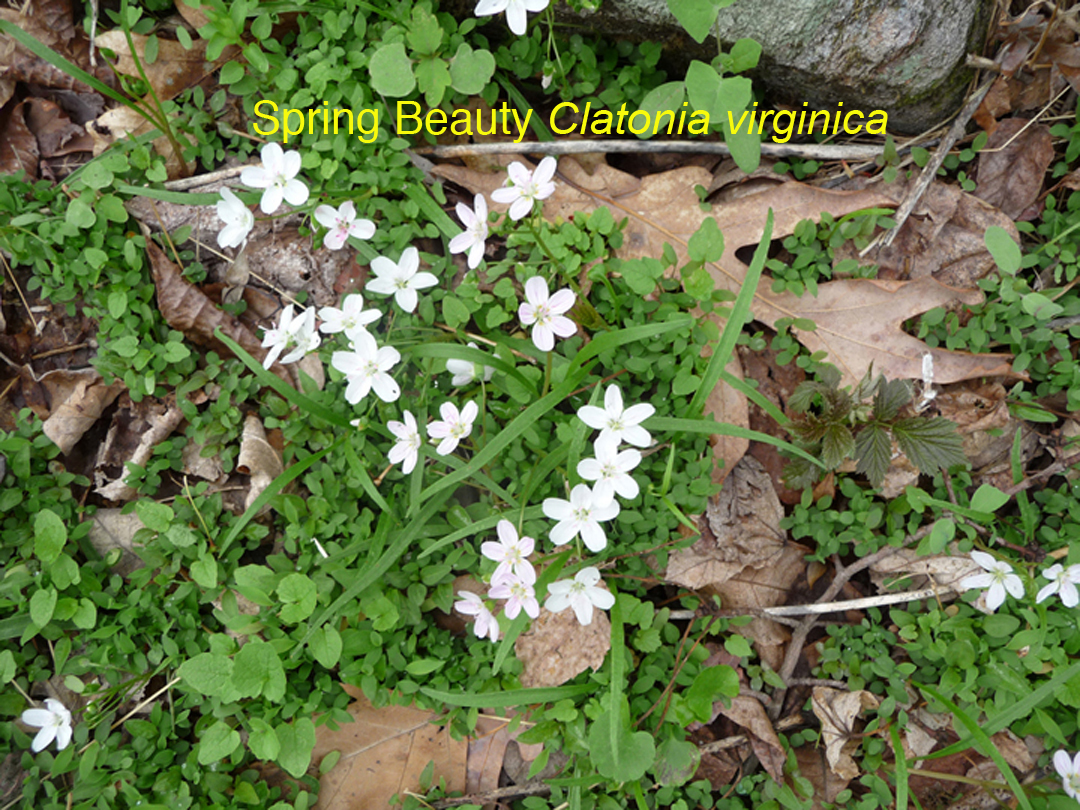 Christianhiker virginia spring beauty clayton virginica has two long lanceolate leaves opposite each other on the stem the one half inch five petal flowers are white mightylinksfo