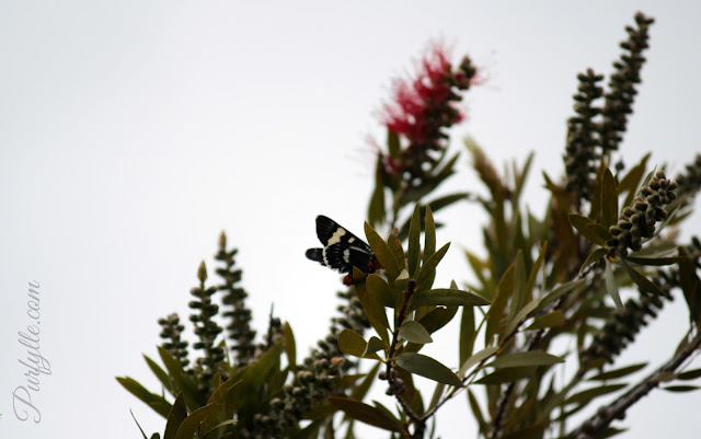 huge butterfly at the top of a tall tree - at least 10 meters away