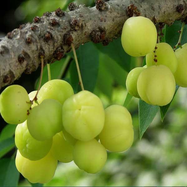 manfaat-buah-malaka