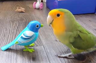 Waktu Yang Tepat Untuk Master Lovebird Agar Durasi Panjang