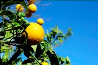 Lemons are a common trigger food for interstitial cystitis