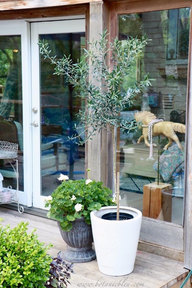 walmart-sells-olive-tree-topiaries-suitable-for-decks
