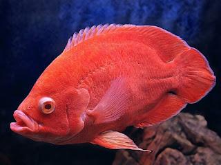 Jenis Ikan Oscar dan Harganya, Oscar Super Red
