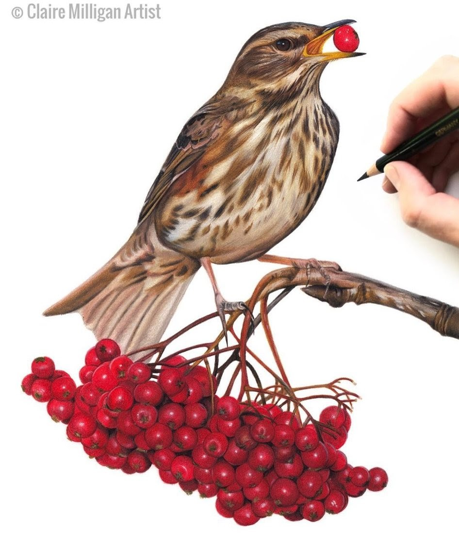 08-Redwing-Claire-Milligan-Pet-Portraits-and-Wildlife-Art-www-designstack-co