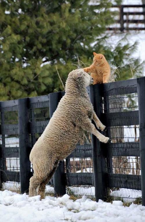 cat+pets+lamb.jpg
