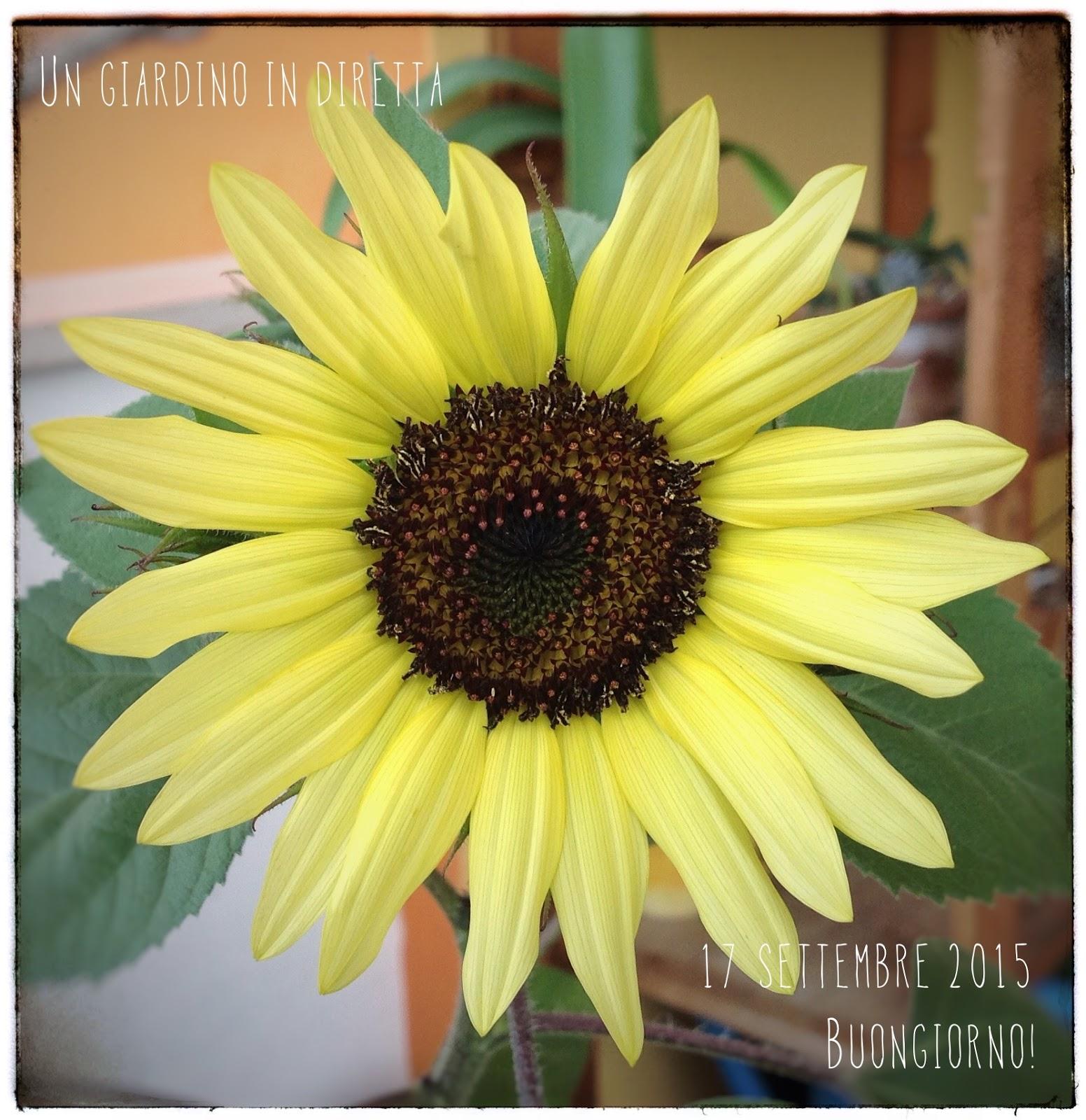 Fiori di settembre girasole moonshine un giardino in for Fiori in giardino