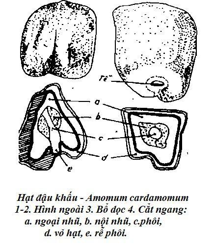 Hạt Đậu khấu - Amomum cardamomum - Nguyên liệu làm thuốc Chữa Bệnh Tiêu Hóa