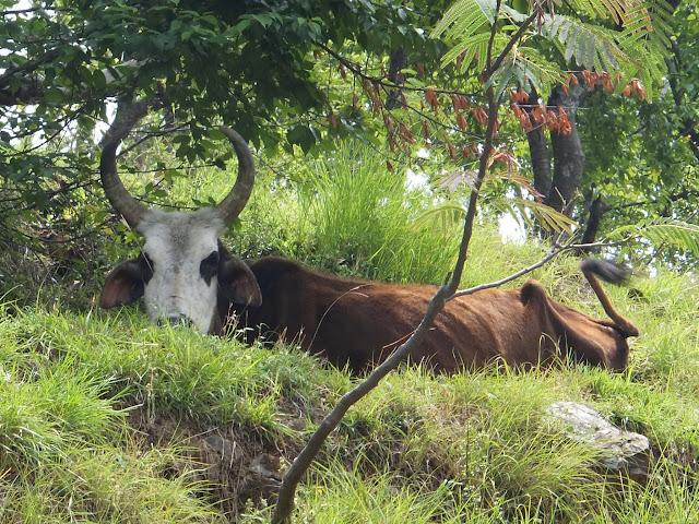 корова в траве