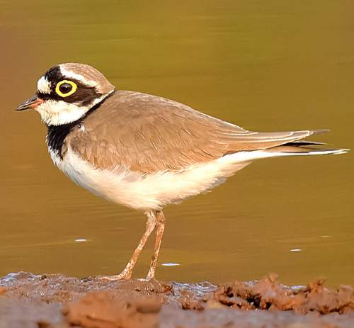 Indian birds - Picture of Little ringed plover - Charadrius dubius