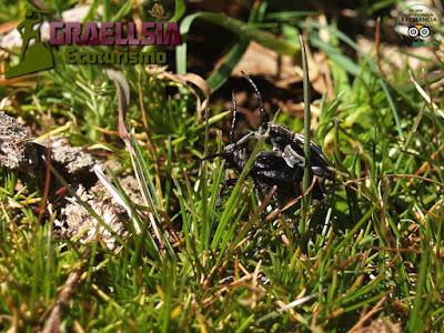 Escarabajos Pipa