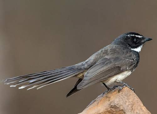 Indian birds - Image of White-spotted fantail - Rhipidura albogularis