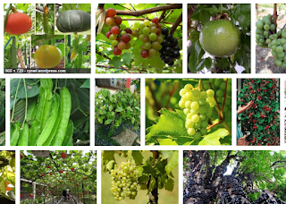 10 Fruitful Vines and How to Plant them - Healthy T1ps