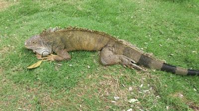 Iguana en el Parque de las iguanas de Guayaquil
