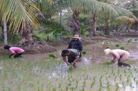 Babinsa Bantu Penanaman Padi Jenis Ciherang dalam rangka Mensejahterakan Para Petani