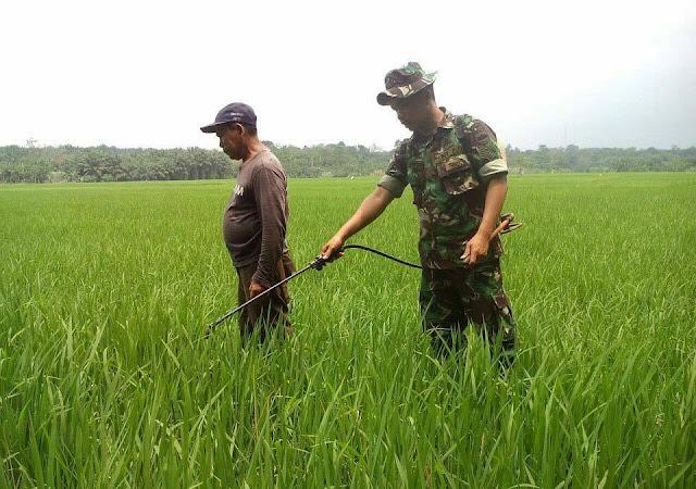 Penyemprotan Ulat Daun Pada Tanaman Padi di Desa Dalan Aman Didampingi Serma Dedy Ginting