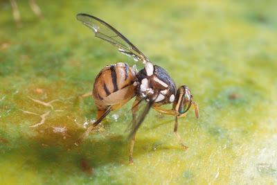 cara basmi lalat buah bractocera