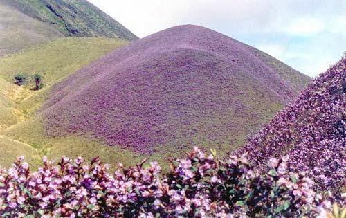 neelakurinji season, neelakurinji bloom, kurinchi flower, kurinji flower color, strobilanthes kunthiana, neelakurinji flower pictures, about kurinji flower, kurinji flower details
