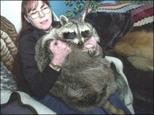 #11 Bandit: Το ρακούν από τη Πενσυλβανία που ζυγίζει 34,02 κιλά.