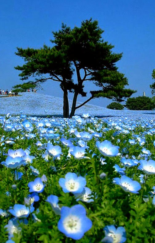 The Hitashi Seaside park has become widely known for these baby-blue-eyes, attracting so many tourists that photographers have to photoshop them out of the fields, as it is impossible to take a