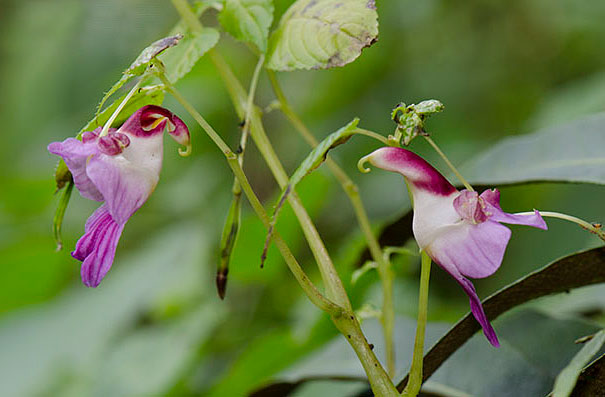 Parrot Flower (Impatiens Psittacina)-1