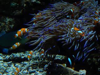 リヴォルノ水族館のカクレクマノミ