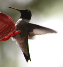 Hummingbird picture by Darla Sue Dollman