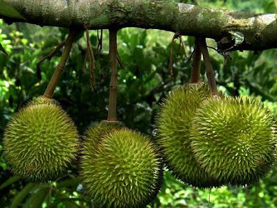 Frutti immaturi Durian