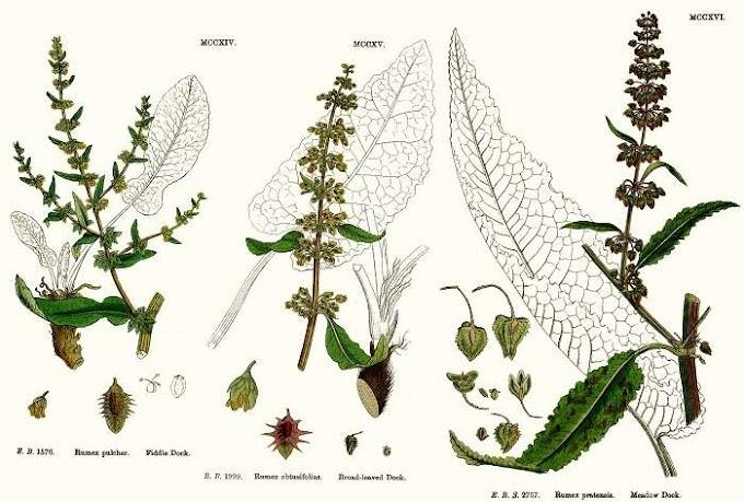 Αγριολάπαθο : Ένα αγριόχορτο – Αληθινό φάρμακο...
