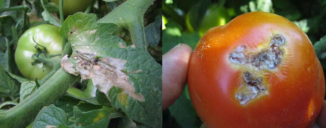 Tomatoes are scarce and epensive in Nigeria now due to tuta absoluta and tomato ebola destroying them