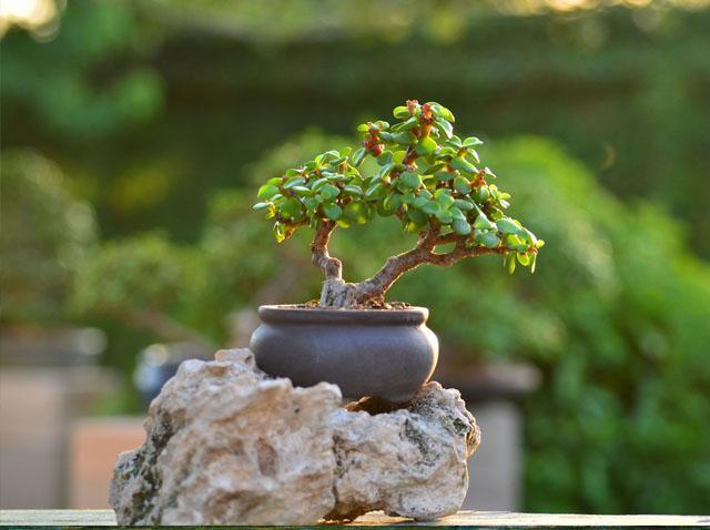 bonsai sobre roca