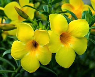 Gambar Bunga Alamanda1