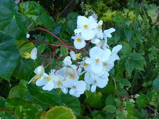 Bégonia blanc - Bégonia luisant - Begonia minor
