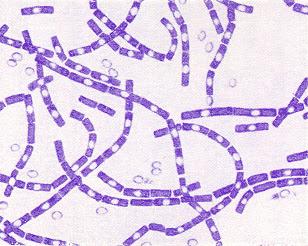 Bacillus antrachis