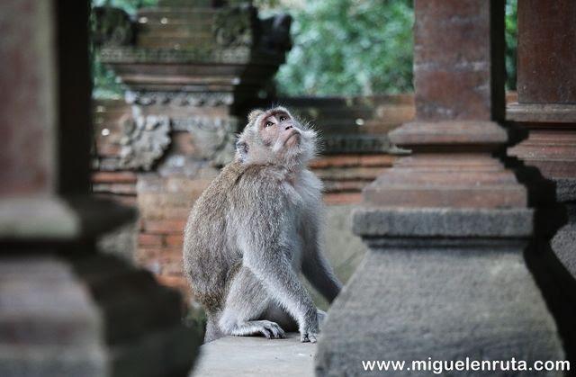 Mono-Monkey-Forest-Bali-Asia