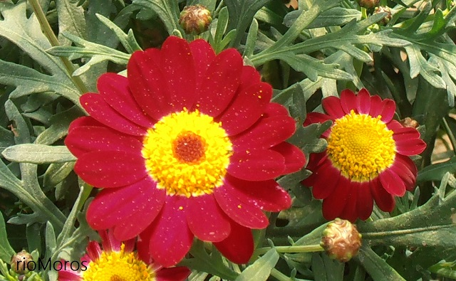 MARGARITA Argyranthemum frutescens