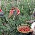 Duka Petani Cabai Ponorogo Jelang Lebaran, Harga Anjlok Cabai Dipanen Dini