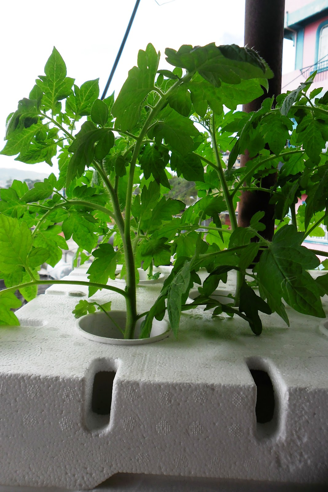 how to grow hydroponic tomatoes at home