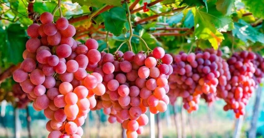 Perú se convierte en el tercer exportador mundial de uva fresca, informó MINCETUR