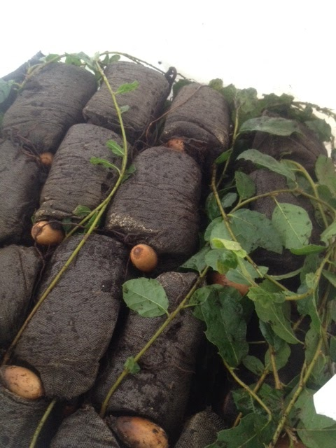 Jelinek Cork Group - Get Corking: Cork oak tree seedlings
