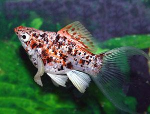 Моллинезии рыбки: содержание, уход, виды, совместимость)