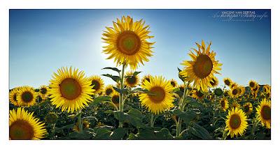 Hình ảnh đẹp hoa hướng dương (hoa mặt trời)